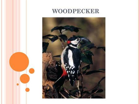 WOODPECKER. Common features of birds : Animals kingdom Vertebrates breathe with lungs warm-blooded covered by feathers ( body feathers, tail feathers,