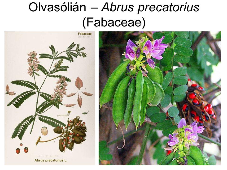 Olvasólián – Abrus precatorius Méreganyag: abrin (toxalbumin) – magban Abrin-intoxikáció: hasonló tünetek, mint ricinmérgezésnél (gasztroenteritisz, pankreatitisz, neurotoxikus hatás) Súlyosabb mérgezés: retinavérzések, bőrvérzések Gyermekek: halálos mérgezés is ismert – 1-2 mag elfogyasztása Állatoknál is: pl.
