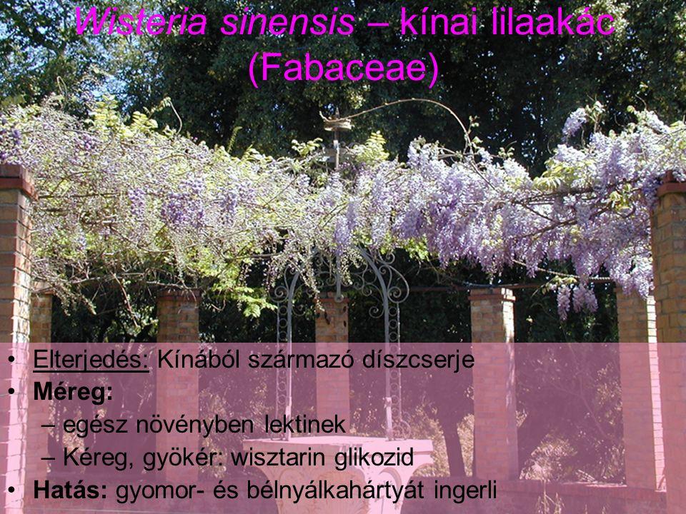 Wisteria sinensis - kínai lilaakác Mérgezés: Színes virágok vagy magok elfogyasztása (gyermekek).