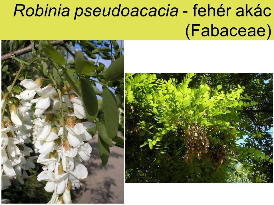 Robinia pseudoacacia - fehér akác Elterjedés: É-Am.