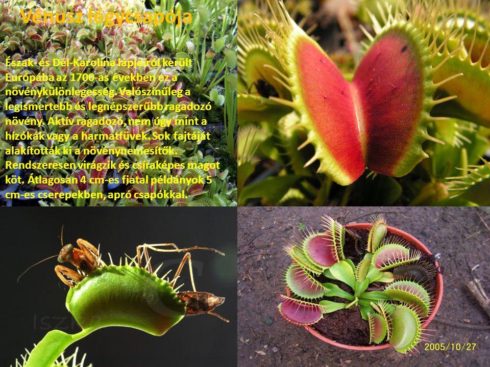 A húsevő növények királynője az Egyesült Államok dél-keleti részén él.