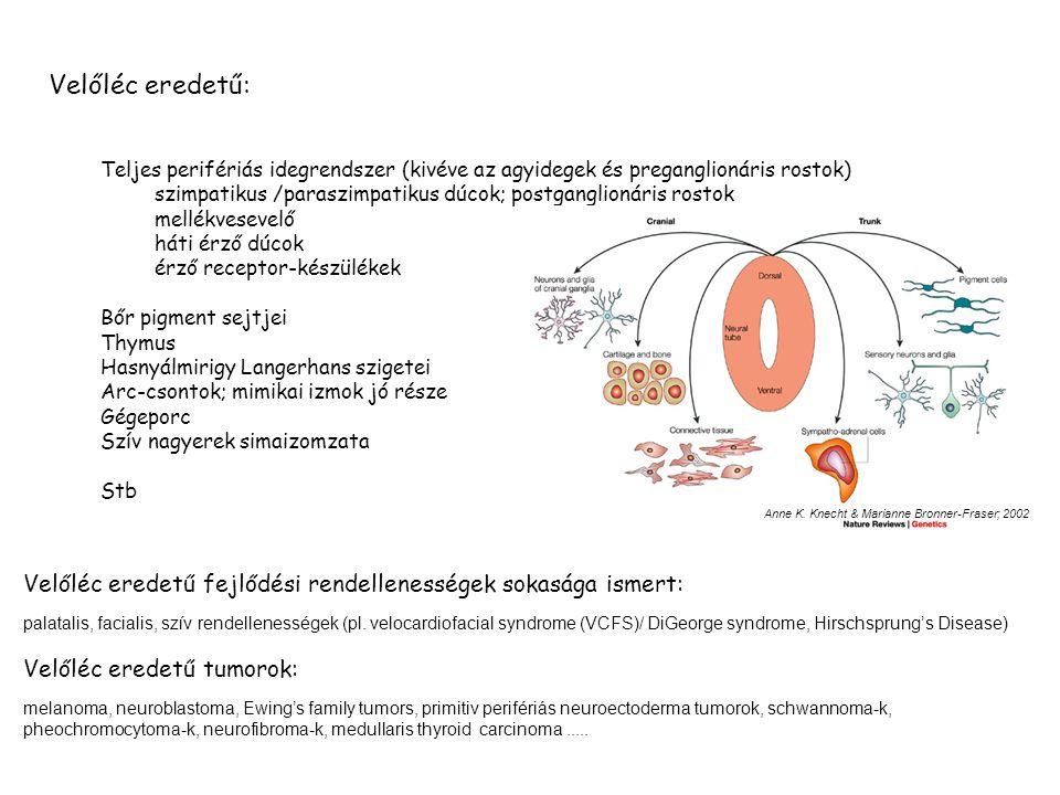BMP4,7; Wnt → Pax3, Foxd3, Sox 8,9,10, Slug, RhoB → leválás az idegi csőről Transzcripciós faktor; Represszor: E-box motivumokhoz kötődik, represszálja az E-cadherin transzcripciót is Slug (SNAI2) HNK1 HNK1 + RhoB RhoB Liu and Jessell 1998