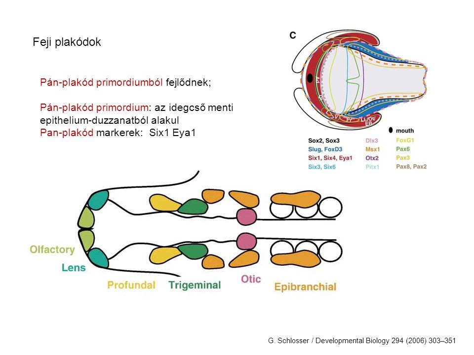 Placodes: Adenohypophyseal Olfactory Lens Trigeminal Profundal Otic Lateral line Epibranchial Pharyngeal derivatives (e.g.