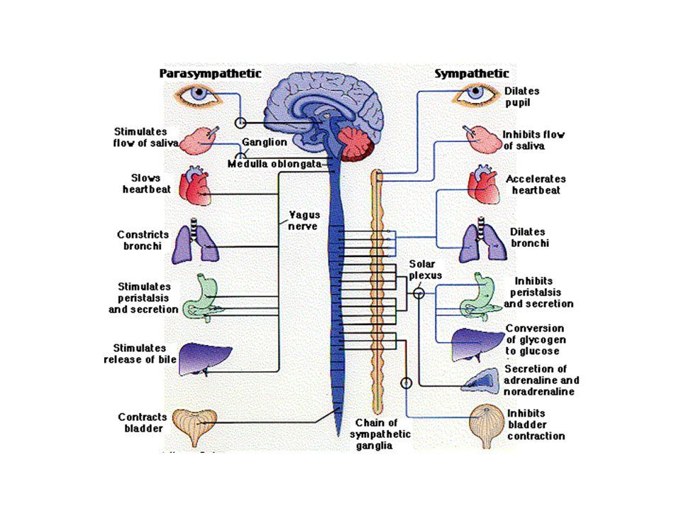 Pax3 Liem et al., 1995 Neural grove Neural tube
