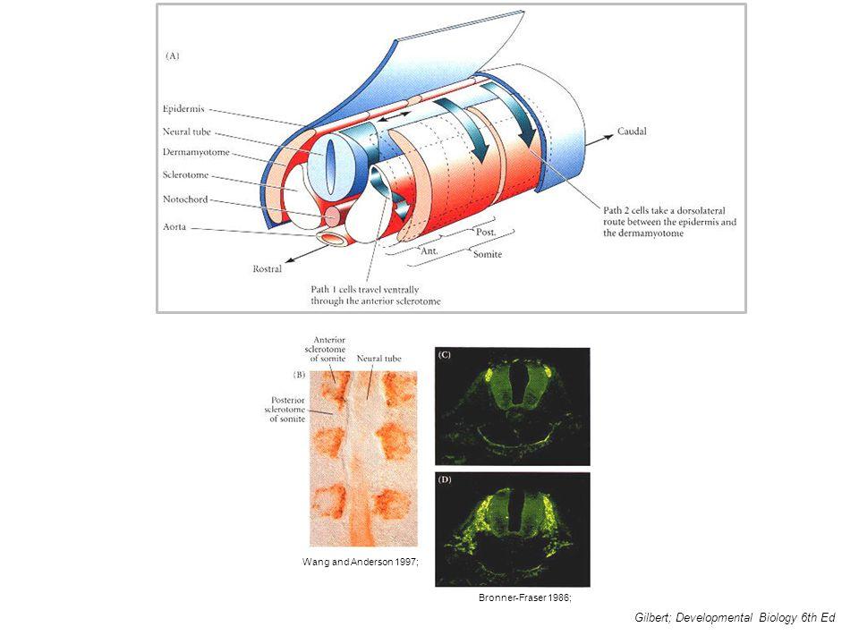 Gilbert; Developmental Biology 6th Ed