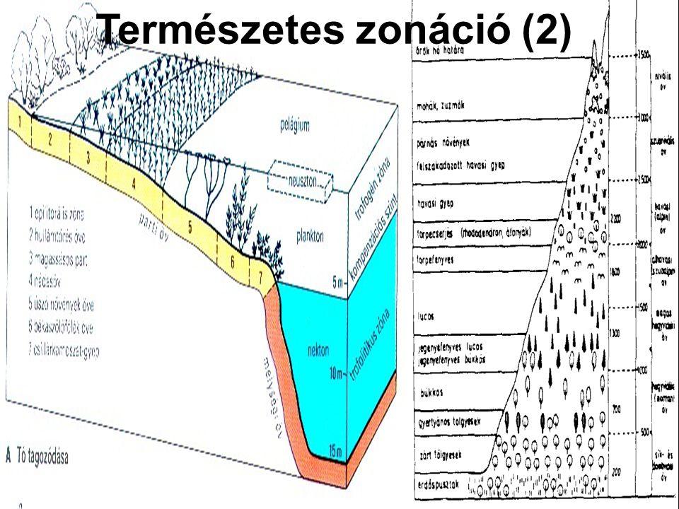 Szukcesszió (1) Társulások szabályos időbeli változása (egymás után következése) adott helyen Oka a környezeti tényezők folyamatos időbeli változása (vízmélység csökkenés a tó feltöltődése miatt) A környezeti tényezők időbeli változásának más és más tűrőképességű populációk képesek megfelelni Tavi szukcesszió (nyíltvízi társulások – hínárnövényzet – mocsári növényzet – réti növényzet – bokorfüzesek - ligeterdők) Szekuláris szukcesszió: földtörténeti idővel mérhető változások (pl.
