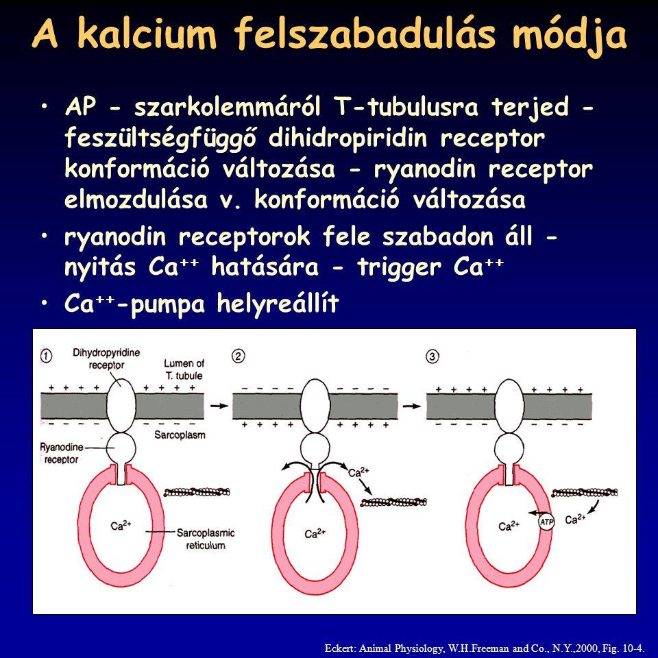 Az elcsúszás mechanizmusa a felszabaduló Ca ++ a troponin komplexhez köt, az aktin miozin kötőhelye felszabadul   körfolyamat indul be, amíg a Ca ++ szint magas, egy ciklus 10 nm elmozdulás Eckert: Animal Physiology, W.H.Freeman and Co., N.Y.,2000, Fig.