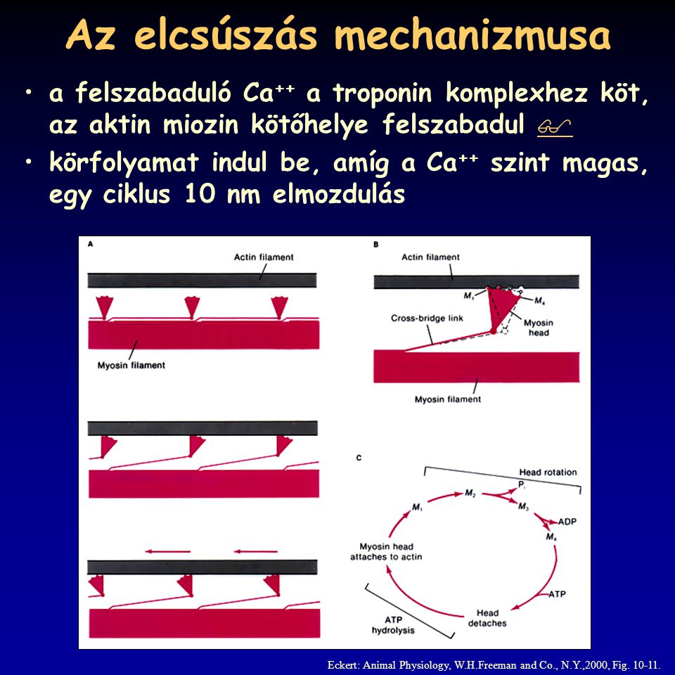 A kontrakció energetikája Eckert: Animal Physiology, W.H.Freeman and Co., N.Y.,2000, Fig. 10-29.