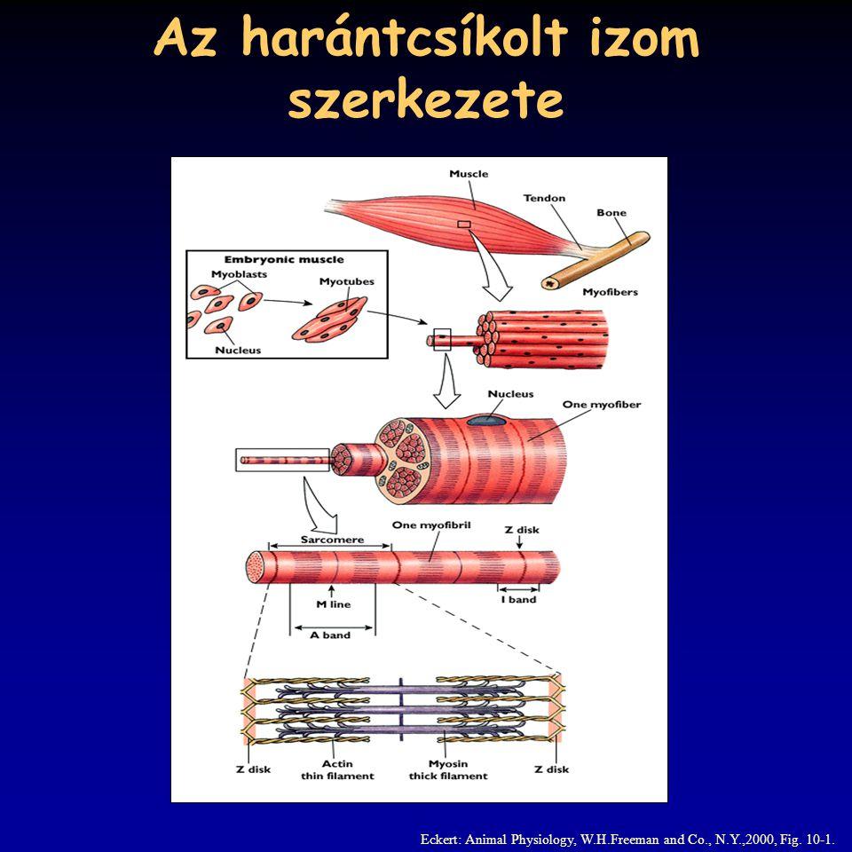 A harántcsíkolt izom EM képe Eckert: Animal Physiology, W.H.Freeman and Co., N.Y.,2000, Fig. 10-2.