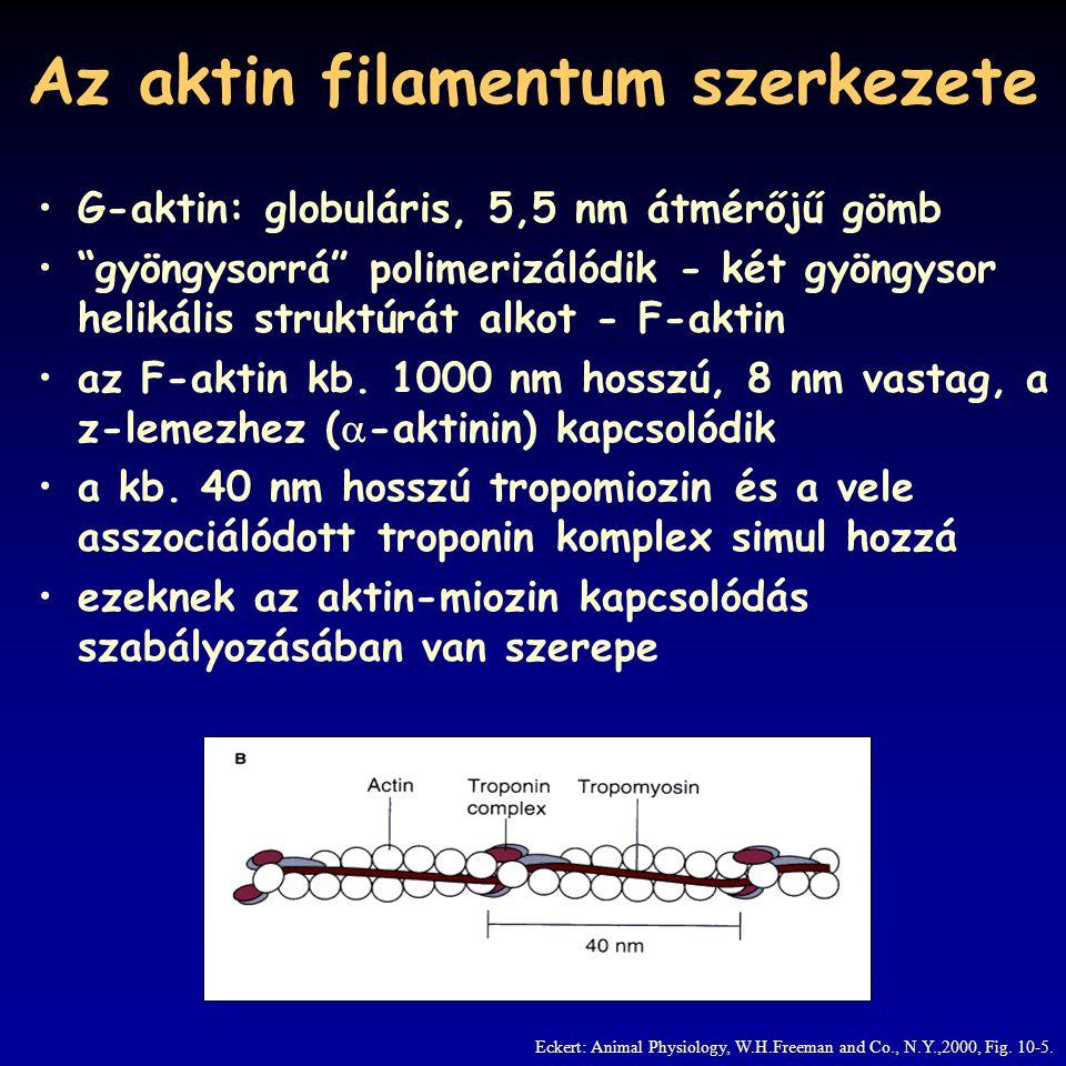 A miozin filamentum a miozin molekula két, 150 nm hosszú, 2 nm vastag nehéz láncból áll ezek  -hélixet alkotnak és egymás köré tekerednek végükön fej -régió a fejhez 3-4 (fajspecifikus) könnyű lánc kapcsolódik a miozin molekulák vastag filamentummá asszociálódnak ennek hossza gerincesekben 1600 nm, vastagsága 12 nm a fejek oldalirányban állnak, 9 sorban egy szinten 3 fej, szintek távolsága 14,3 nm, 42,9 nm-ként azonos irányultságú fej