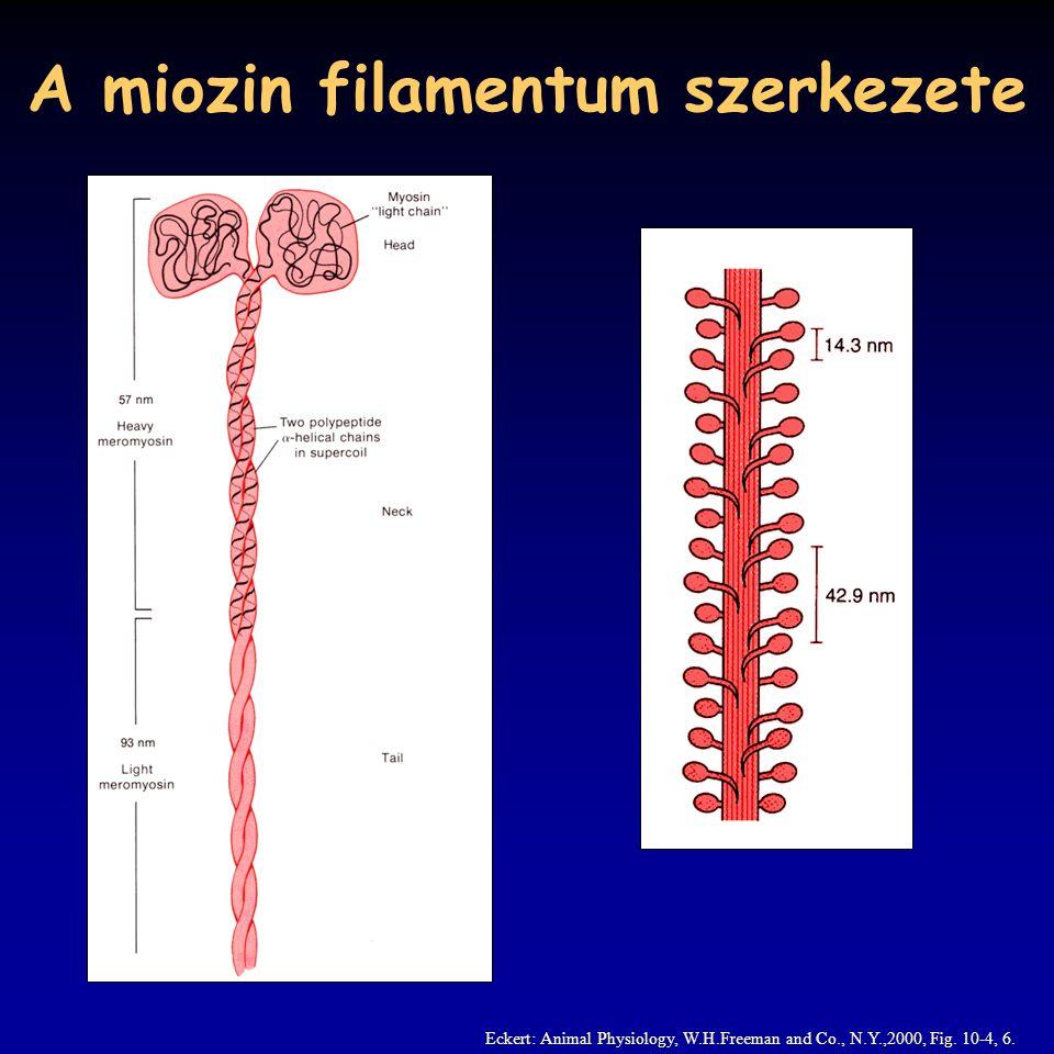 A csúszó filamentum elmélet az A-csík változatlan, míg az I-csík rövidül nem változik sem az aktin, sem a miozin filamentumok hossza H.E.