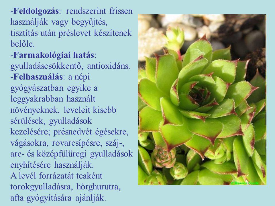 """Magas aranyvessző (Solidago gigantea) -Egyéb nevei: kései aranyvessző (régóta használt drog, Solidago- """"solidare -megerősítést, gyógyítást jelent.) -Család: Asteraceae -Drog: Solidaginis herba (magas és kanadai aranyvessző drogja) -Hatóanyag: triterpén szaponinok, illóolaj, cseranyagok (katechinszármazékok), keserűanyagok, inulin."""