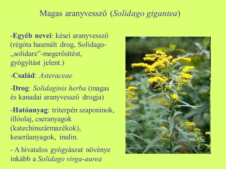 -Morfológia: évelő, tarackos növény.Levelei szórt állásúak, lándzsásak, szára alsó részén kopasz.