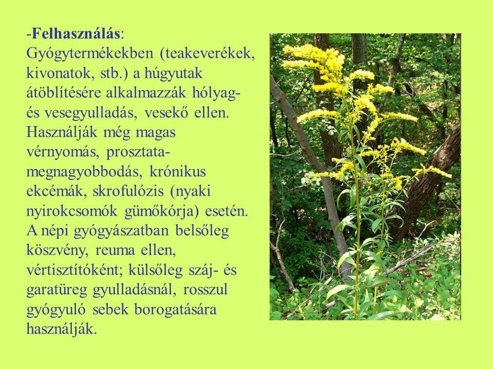Fekete nadálytő (Symphytum officinale) -Egyéb nevei: (forrasztófű, nadálylapu, madárgyökér) -Család: Boraginaceae -Drog: Symphyti rhizoma et radix -Hatóanyag: allantoin, cserzőanyag, nyálkaanyag, triterpenoidok, fitoszterinek, dehidrokávésav, rozmaringsav, aszparagin, pirrolizidin- alkaloidok