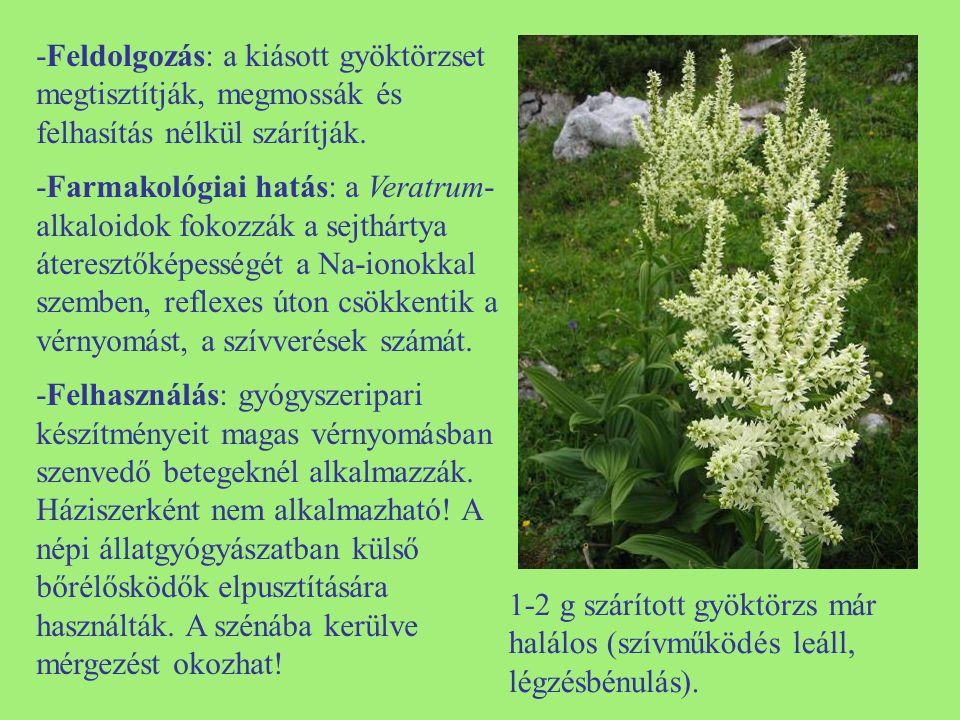 Szöszös ökörfarkkóró (Verbascum phlomoides) -Egyéb nevei: szöszös farkkóró, (királygyertya, mezei gyertya, sárgavirág, királydárda) -Család: Scrophulariaceae -Drog: Verbasci flos, Verbasci folium -Hatóanyag: nyálkaanyagok, szaponinok, cukor, flavonoidok, karotinoidok (krocetin).