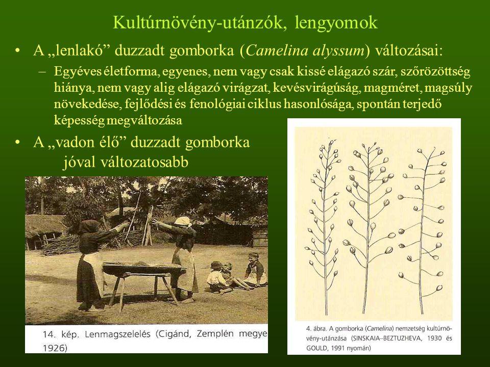 Kultúrnövény-utánzók, lengyomok Egy rosszul tisztított 50 grammos len vetőmagminta tartalma (1950- es évek): 3420 db lenfojtó aranka, 241 db lenvadóc, 8 db duzzadt gomborka