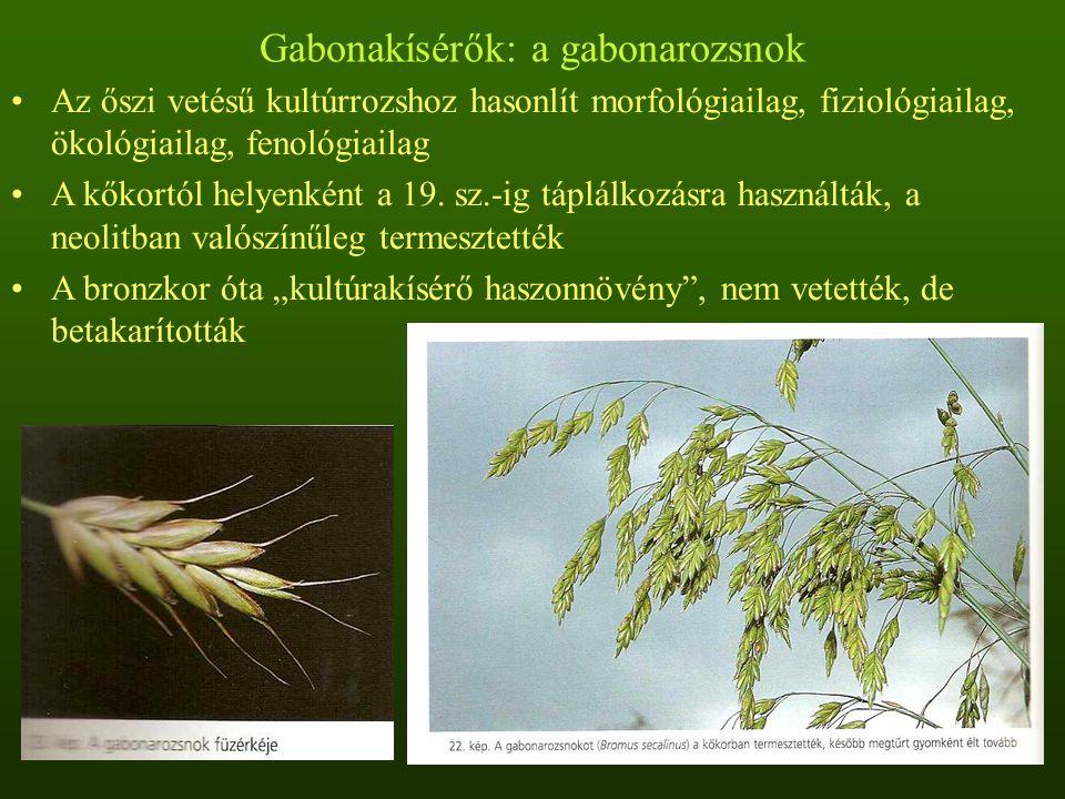 Pionír gyomnövények Közvetlenül fejlődtek ki vadon élő kolonizátorokból Kis termetűek, gyenge kompetíciós, de nagy szaporodó képességűek A zavarás megszűnése után kiszorulnak a vegetációból Legtöbb szántóföldi gyomfajunk ide tarozik