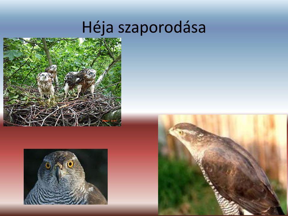 Énekes rigó (részben költöző madár) Jellemzés: Északnyugat-Európa jól beültetett parkjainak gyakori és közismert, sűrűn pettyezett testaljú madarai.
