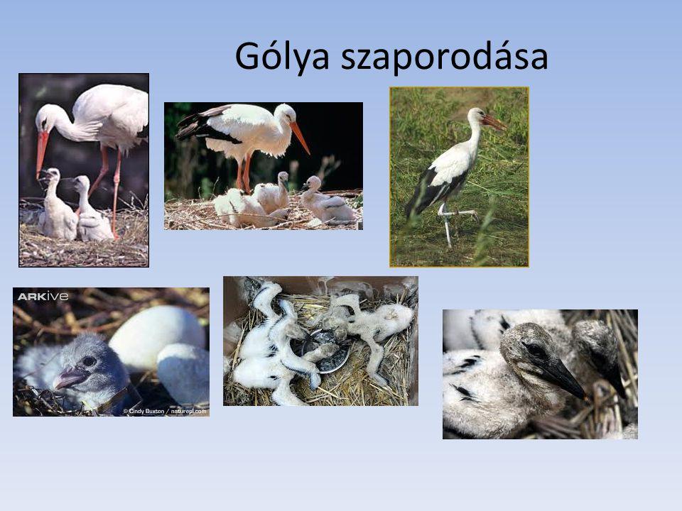 Gólya vándorlásTordon Ákos: Búcsúzik a gólya Búcsúzik a gólya, Mocsarak lakója, Holnap indul napkeletre, Egyiptomba, napmelegre.