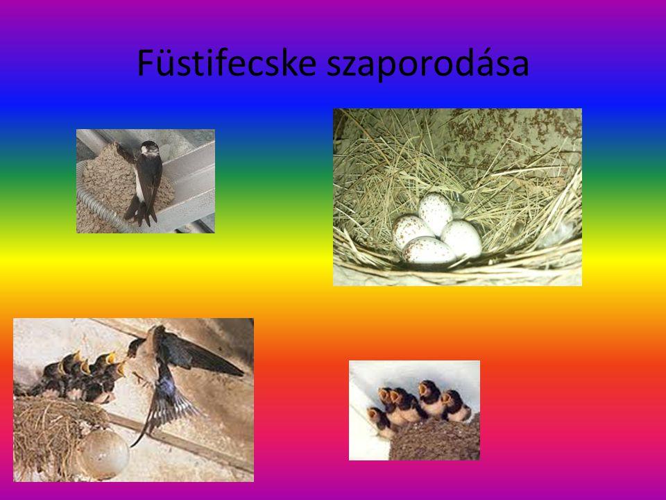 Molnárfecske (költöző madár) Eurázsia északi kisvárosainak, tópartjainak közkedvelt nyári vendégei.