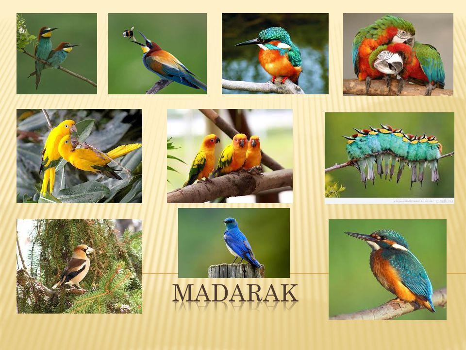 A sárgaszárnyú ara vagy arakanga (Ara macao) a papagájfélék családjába és az Ara nembe tartozó faj.