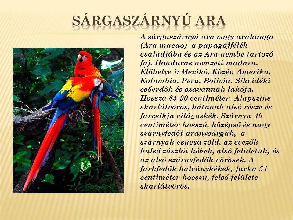 A gyönyörű kék páva, a leggyakoribb pávafajta, Indiából származik.