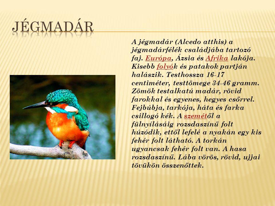A pápapinty (Passerina ciris) a kardinálispintyfélék családjába tartozó faj.