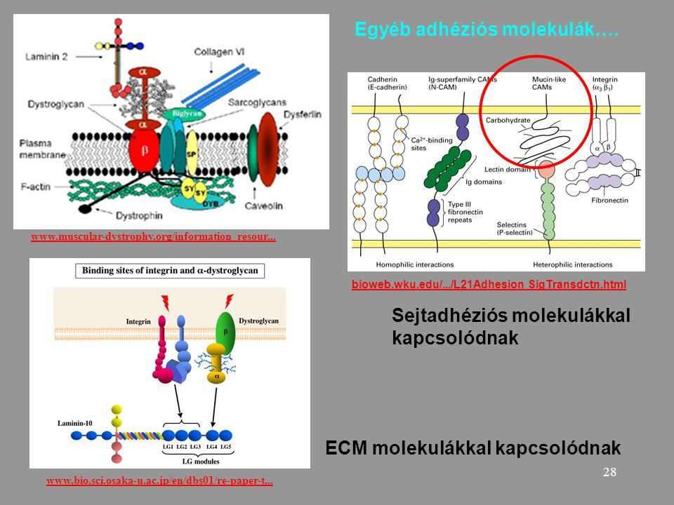29 Sequential steps in leukocyte emigration are controlled by specific adhesion molecules on leukocytes and endothelial cells.