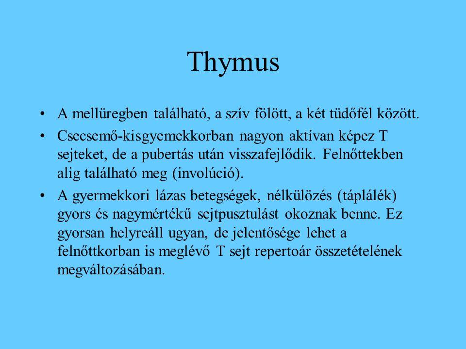 Thymus átnézeti kép: lebenyek, sövények, lebenykék, kéreg (sötét) és velőállomány (világos)