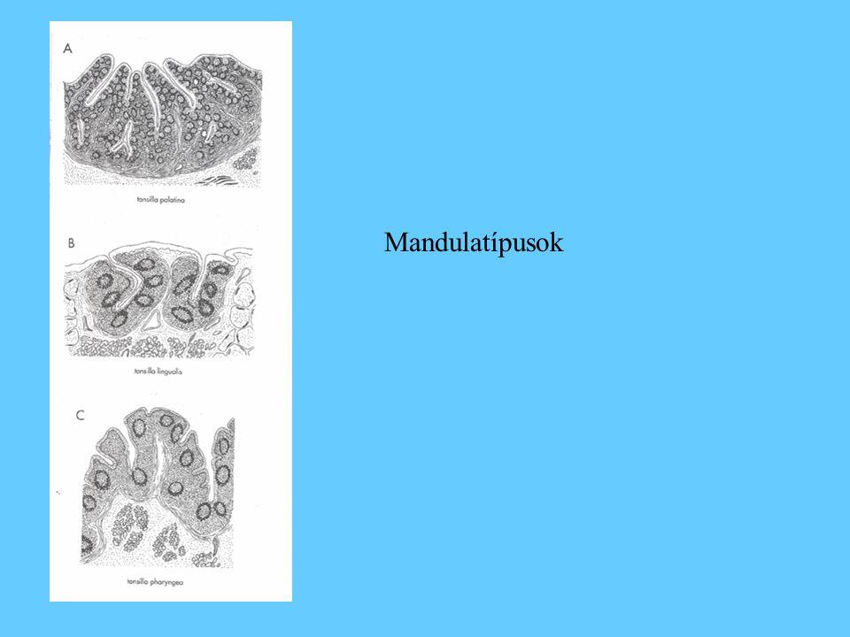 Peyer plakkok A vékony és vastagbél falában található, ovális, néhány mm-estől néhány cm-esig terjedő nagyságú nyirokszövetek.