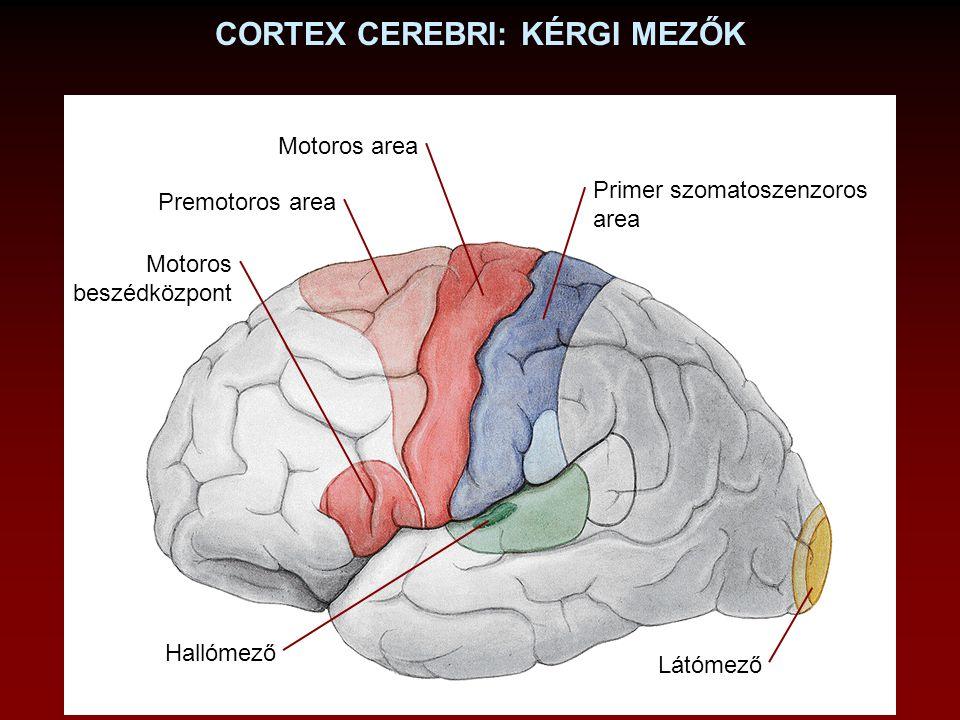 Motoros area Premotoros area Primer szomatoszenzoros area Látómező CORTEX CEREBRI: KÉRGI MEZŐK