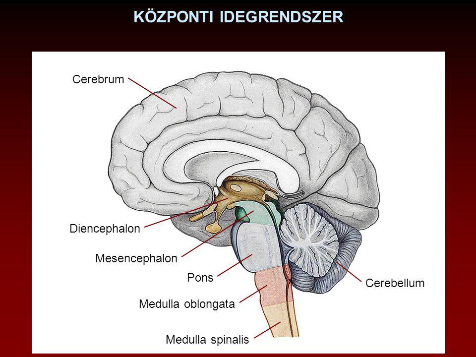AGYVELŐ RÉSZEI Prosencephalon (Előagy) Telencephalon Diencephalon Mesencephalon (Középagy) Rhombencephalon (Utóagy) Metencephalon Myelencephalon