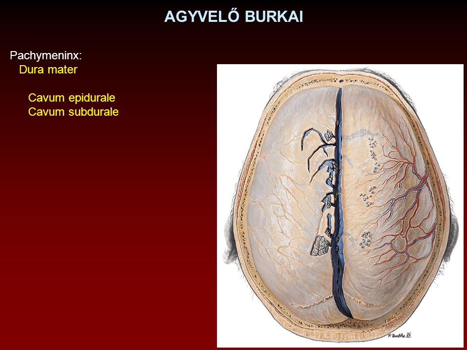 AGYVELŐ BURKAI Pachymeninx: Dura mater Falx cerebri Tentorium cerebelli