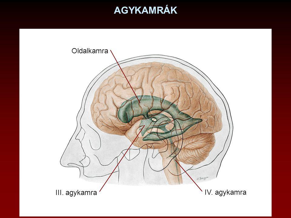 LIQUOR CEREBROSPINALIS Termelés: plexus choroideus: agykamrákba Felszívódás: granulationes arachnoidales: cavum subarachnoideale-ból sinus sagittalis superiorba