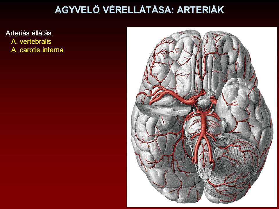 CIRCULUS ARTERIOSUS WILLISII A.carotis interna A.
