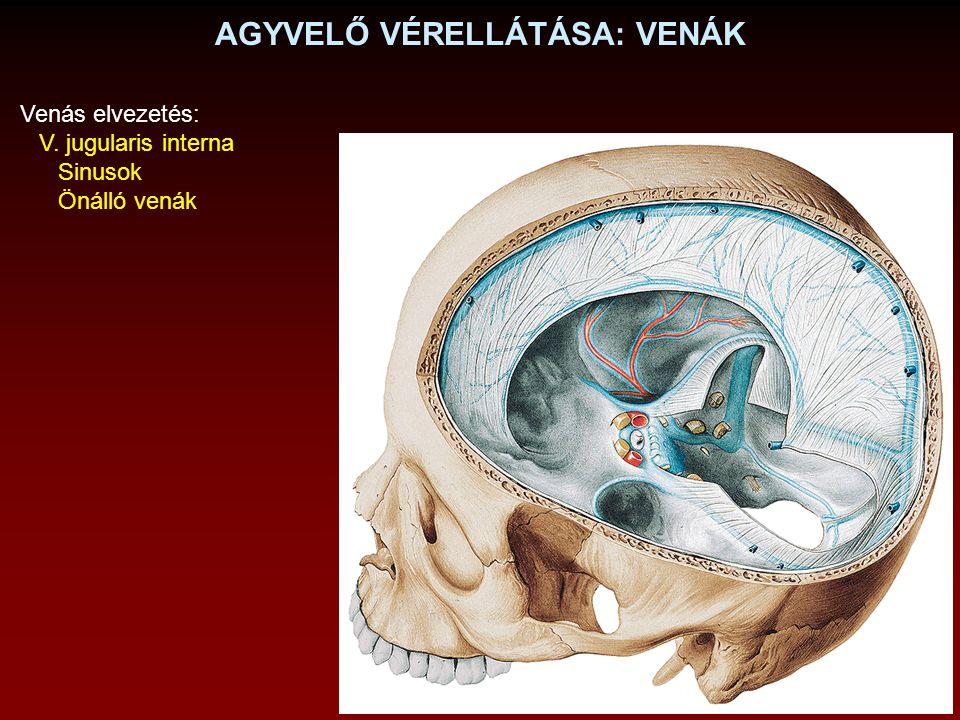 AGYVELŐ SAGITTALIS METSZETE Fornix Commissura anterior Chiasma opticum Corpus pineale Commissura posterior Corpus mamillare Infundibulum Corpus callosum
