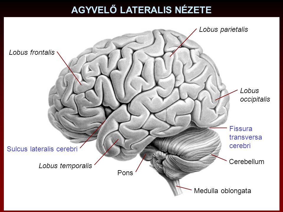 AGYVELŐ FELÜLRŐL Lobus frontalis Fissura longitudinalis cerebri Lobus occipitalis Lobus parietalis