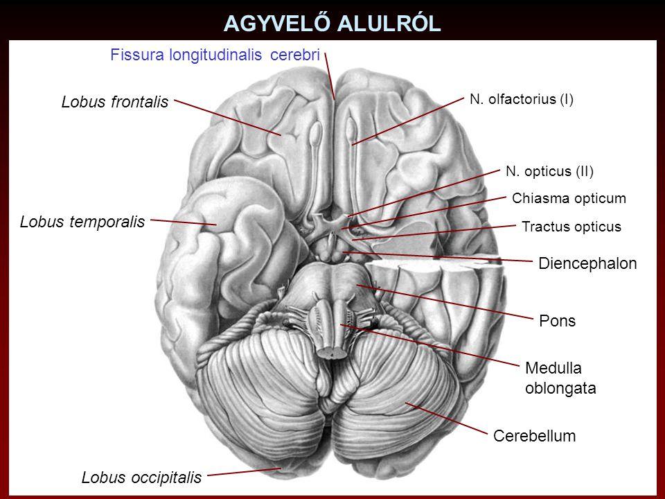 AGYVELŐ SAGITTALIS METSZETE Corpus callosum Fissura longitudinalis cerebri Fissura transversa cerebri Cerebellum Lobus occipitalis Lobus temporalis Lobus frontalis Lobus parietalis