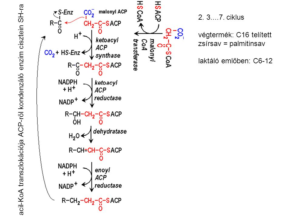 A teljes zsírsavszintézis egyenlete 7 ciklus után: acetyl-CoA + 7 malonyl-CoA + 14 NADPH + 14 H+ → palmitate + 7 CO2 + 8 HSCoA + 14 NADP + 6 H2O Zsírsavszintézis teljes energiaigénye: acetil-KoA-karboxiláz 7 acetil-KoA + 7 ATP + 7 CO2 + 7 H2O → 7 malonil-KoA + 7 H+ + 7 ADP + 7 Pi citrát-liáz 8 citrát + 8 ATP + 8 HSCoA → 8 acetil-CoA + 8 oxaloacetát + 8 ADP + 8 Pi ezen felül a NADPH előállítás energiaigénye Az elkészült palmitinsav hidrolizálódik az ACP-ről az utolsó lépésben: tioészteráz palmitil-ACP + H2O = palmitát + ACP