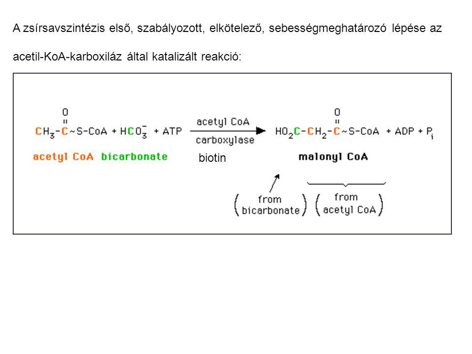 Acetil-KoA-karboxiláz enzim többlépéses reakciót katalizál: 1.) energiaigényes folyamatban vegyes savanhidrid, (magas csoportátviteli potenciálú) formába kerül a szénsav, így kerülhet a biotin prosztetikus csoportra 2.) karboxibiotinról az akceptorra, acetil-KoA-ra kerül a karboxil- csoport, malonil-KoA keletkezik