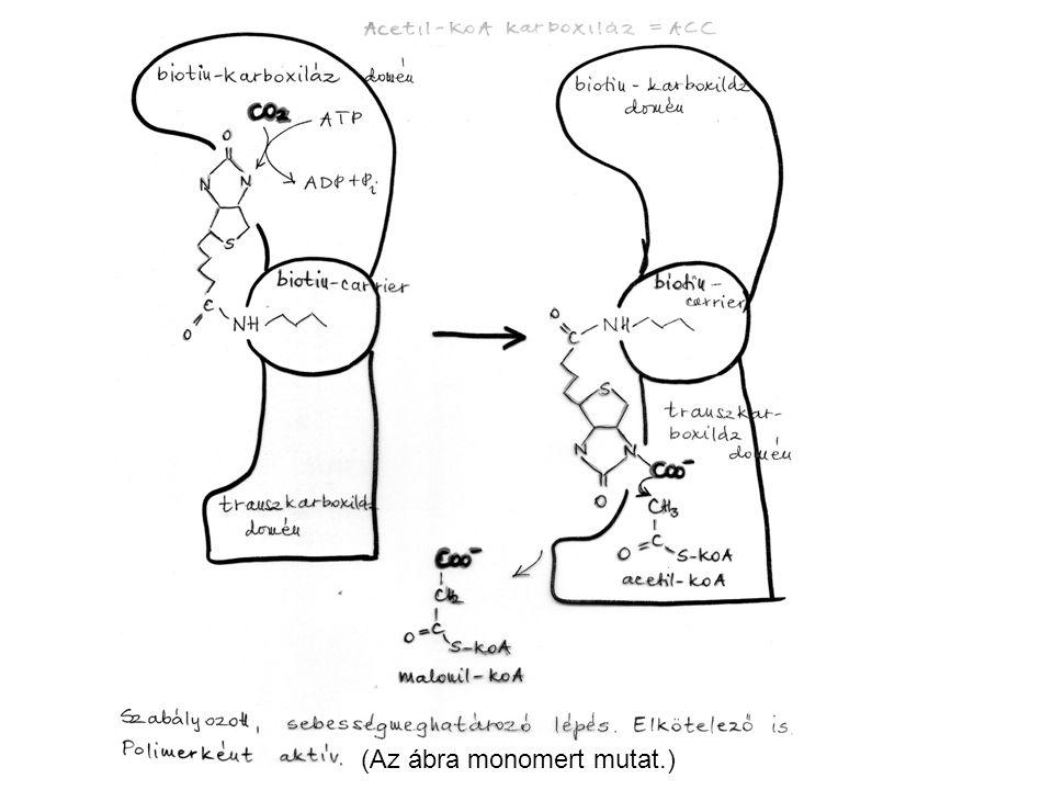 A zsírsav-szintáz egy multifunkcionális dimer emlősben és emberben, amely egyszerre két zsírsavat készít.