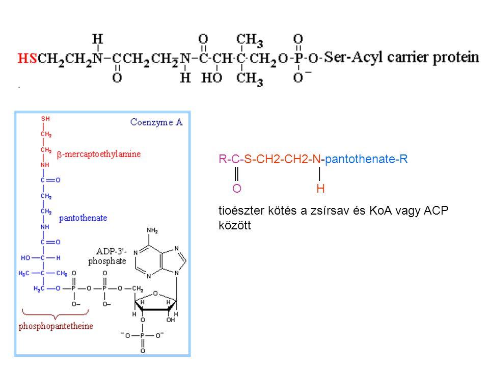 C4 (6-14) transzlokálódik az ACP-ről a ketoacil-szintázra (acetil-KoA helyett)