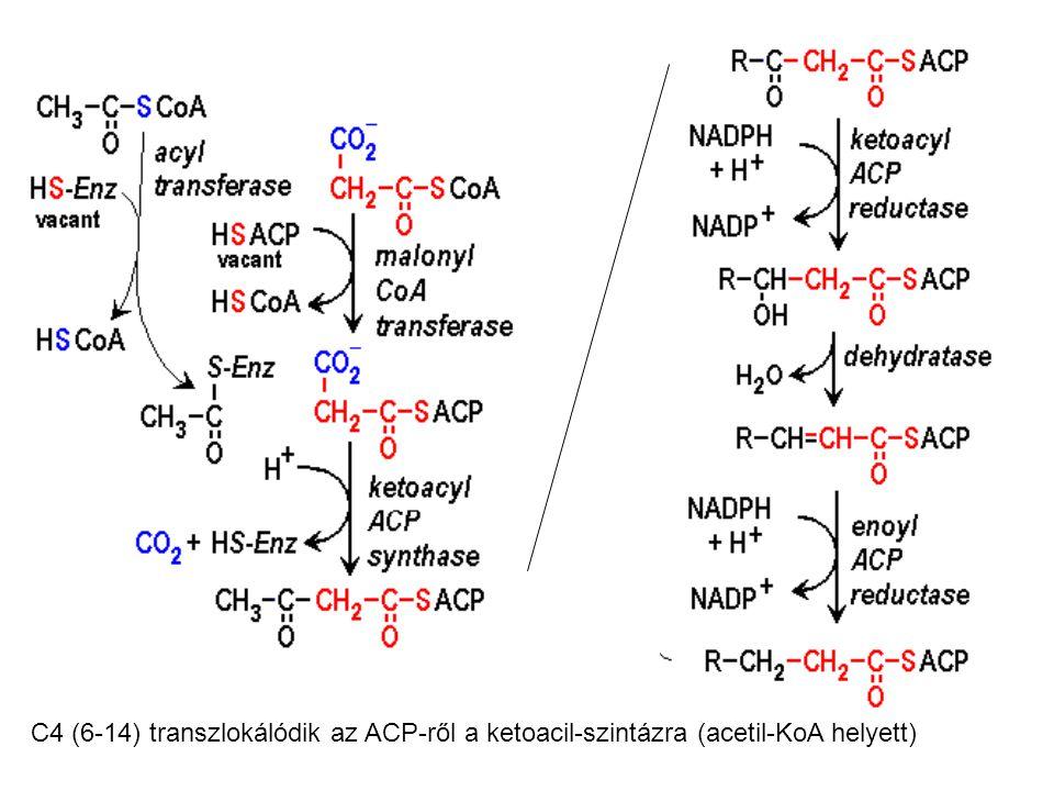 acil-KoA transzlokációja ACP-ről kondenzáló enzim cisztein SH-ra 2.