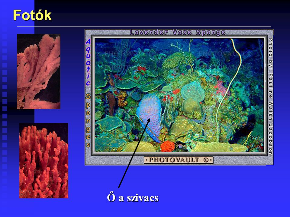 Fotók Karib-tengeri szivacs (a hőmérsékleti viszonyok ott kedvezőek)