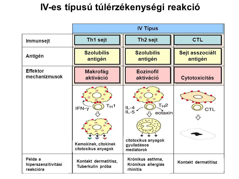 Késői típusú (IV-es) túlérzékenység Antigén felismerés a limfoid szövetekben T-sejt expanzió és differenciáció Differenciált effektor T-sejtek belépnek a keringésbe A válasz kiváltása CD4+ effektor Th1 sejtek CD8+ T-sejtek (CTL) 1.