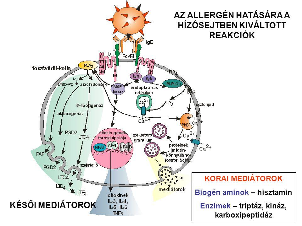 citokin kemokin lipid- mediátor enzim toxikus mediátor Termék típusa Termék Biológiai hatások kötőszöveti 'remodelling' toxikus a parazitákra növeli az erek permeabilitását simaizom összehúzódáshoz vezet gyulladáskeltő, különböző sejttípusok citokintermelését serkenti, aktiválja az endotéliumot TNFα (egy része granulumokban raktározva) simaizom összehúzódáshoz vezet növeli az erek permeabilitását serkenti a nyáktermelést serkentik és erősítik a Th2-választ granulocita termelés és aktiválás monocita, makrofág és granulocita toborzás leukociták toborzása, lipidmediátorok felszabadulásának serkentése, neutrofilok, eozinofilok és trombociták aktiválása
