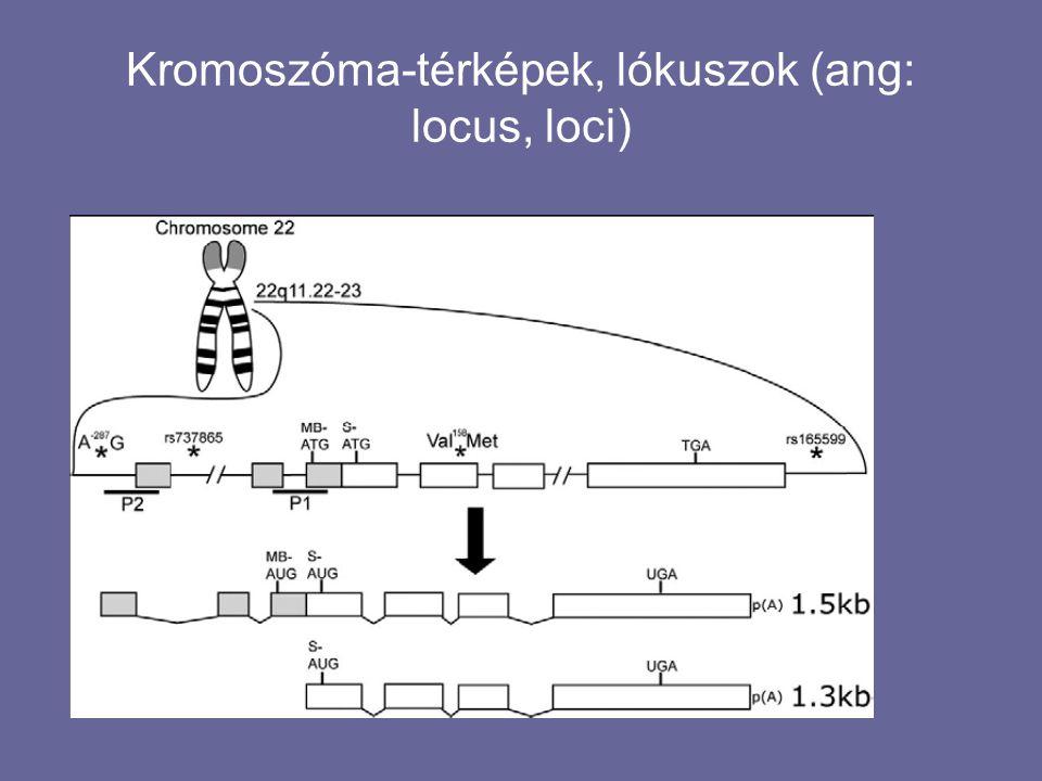 Forrás: Gonick – Wheelis: Cartoon Genetics / Képregén