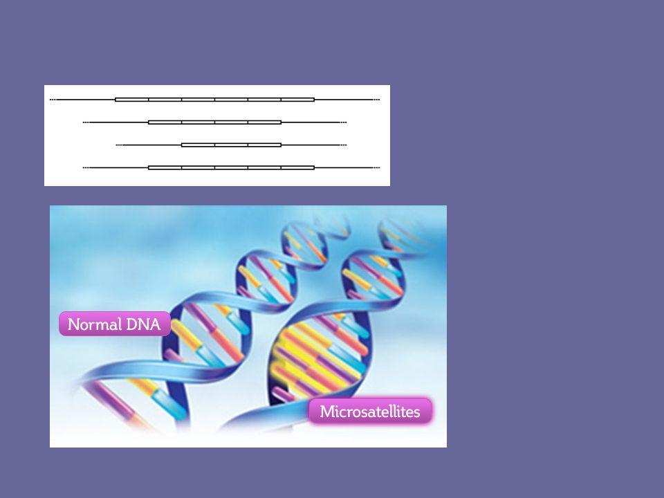 """Genetikai polimorfizmusok A """"rövid szakaszt érintő polimorfizmusok (SNP és VNTR) hatása SNP VNTR kódoló szakaszonnem kódoló szakaszon báziscsere: semmi AS-csere splicing nonsense ins / del: frame-shift 3-mal osztható: ismétlődő peptidszakasz 3-mal nem osztható: frame-shift semmi / nem ismert / transzkripciós aktivitás / mRNS élettartam… semmi / nem ismert / transzkripciós aktivitás / mRNS élettartam… Forrás: Rónai Zsolt, 2004."""