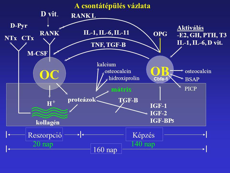 OPG gén knock-out: osteoporosis fokozott expresszió: osteopetrosis