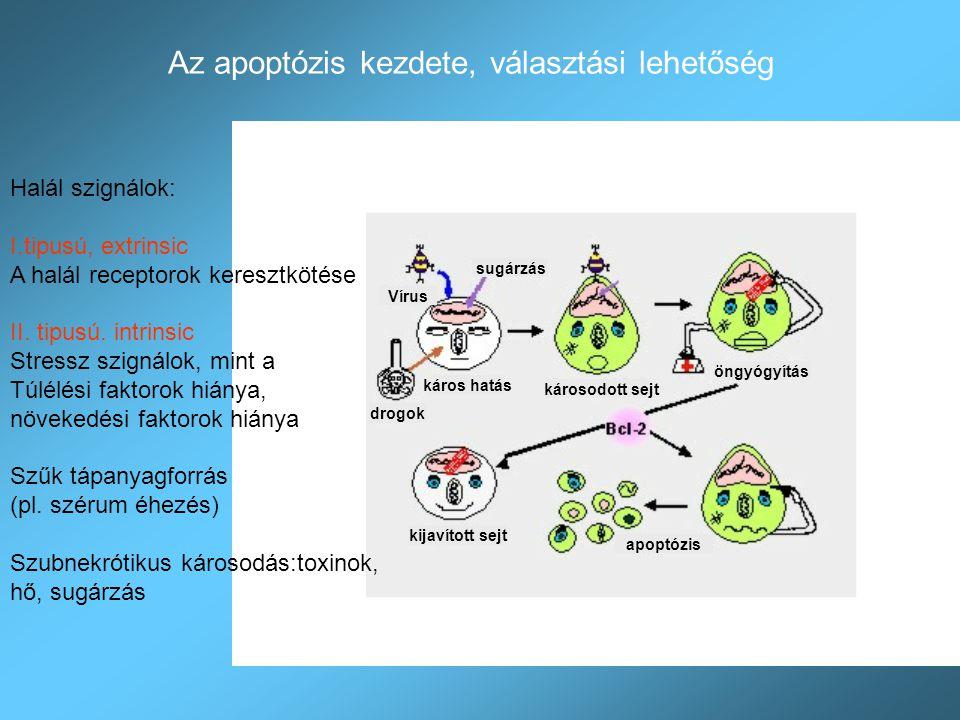 Az apoptózis típusai Receptor mediált (I.